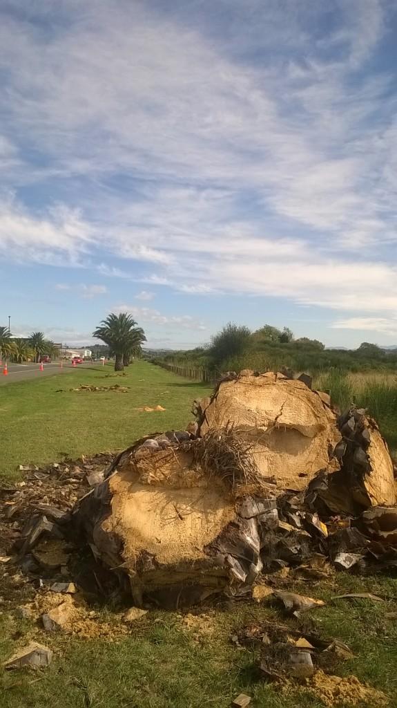 Prebensen Drive's Phoenix palms - gone, but not forgotten!